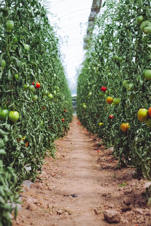 Plants de tomates - consommer local